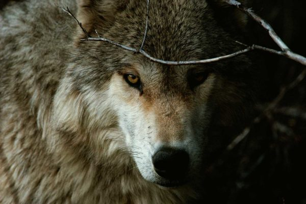 wolf feral poem by scottshak
